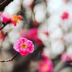 春近し/梅/風景 天気が曇りだったのが写真的には残念でした…