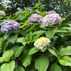 江ノ島/令和の一枚/至福のひととき/おでかけ/おでかけワンショット 今日は、平日デート❤️ 江ノ島の紫陽花と…