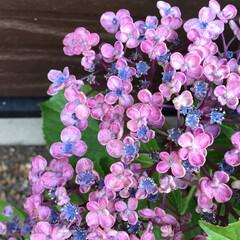 みんなにおすすめ 家の紫陽花たちが綺麗に色付き始めました💕…(1枚目)