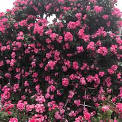 おでかけワンショット 富士市中央公園で、薔薇🌹を見に来ました。