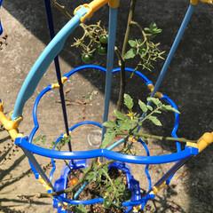 小学生/プチトマト栽培/おすすめアイテム/令和の一枚/フォロー大歓迎/至福のひととき/... お孫ちゃんが、学校🏫で、育ててる プチト…
