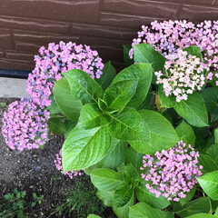 みんなにおすすめ 家の紫陽花たちが綺麗に色付き始めました💕…(2枚目)