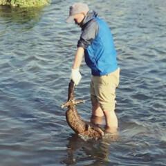 川魚/川/オオサンショウウオ/天然記念物/釣り/おでかけ うちのダーリンがオオサンショウウオ発見!…