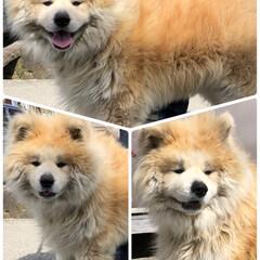 デカい😳/オトナシイ/秋田犬 ご近所のワンチャン‼️ ロシアで人気😘 (1枚目)