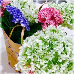 紫陽花/梅雨 ご近所の お庭に咲いた 紫陽花 頂きまし…