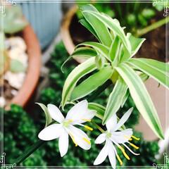 グリーン/花 おりずるらんの 可愛い花が 咲きました。…