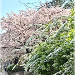 近所/ユキヤナギ/桜/学校 駅まで  歩いていると 大学と 小学校…(1枚目)