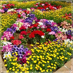 花壇/おでかけ/ファッション ショップのまえの花壇の 花達が、あまり綺…