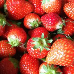 苺/イチゴ/いちご 摘みたてイチゴ🍓 イチゴを作られている主…