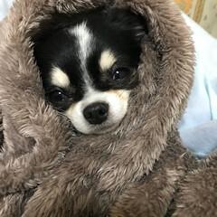 チワワ 毛布に包まれて幸せ^_^