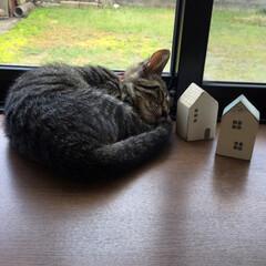 おやすみショット/猫/キジトラ/LIMIAペット同好会/にゃんこ同好会/至福のひととき うちのひなた😸 おやすみショットパート6…