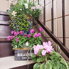 ガーデニング/踊り場階段ガーデン  キレイにまた咲いてきてくれたから 階段…