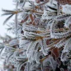雪の華/ツツジ ツツジさん雪に埋もれながら出ている葉は、…