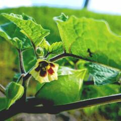 栄養満点/美味しい/食用/みんなにおすすめ 食用ほおずきと花💠 ほおずきは、外の皮が…