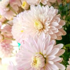 秋の花/庭の花/暮らし 庭のクジャクアスター🎶 今は、だんだん終…(3枚目)