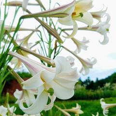 満開に咲いたよ/庭の花/暮らし タカサゴユリが満開になりました🎶 ま❗ご…