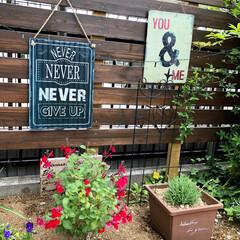 ガーデニング/チェリーセージ/手作りのお庭/ウッドフェンス/グリーン/DIY/... お庭のチェリーセージが咲き始めました:.…(1枚目)