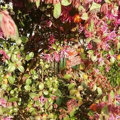 春/ガーデニング/ガーデン/庭木/庭/春の一枚 庭のベニバナトキワマンサクの花が満開にな…(1枚目)