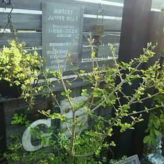 新緑/新芽/春/庭木/ガーデン/ガーデニング/... 庭の一角コーナーです。まさに春の新緑カラ…