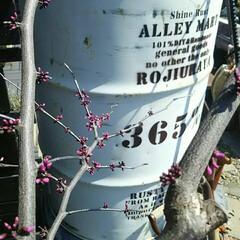 ガーデニング/ガーデン/庭木/ハナズオウ/落葉樹/春の一枚 アメリカハナズオウの花がつき始めると『春…