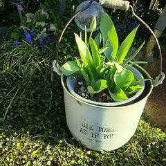 バケツ/庭/ガーデニング/ガーデン/蕾/つぼみ/... チューリップのつぼみ1号♪ いよいよ春に…