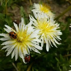 春の花/裏山/自然/春/てんとう虫/春の一枚 かわいいてんとう虫さん☆家の周りに大量発…