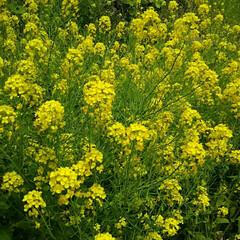 裏山/春の花/春/菜の花/春の一枚 わが家の裏山は菜の花いっぱいです☆ もう…(1枚目)