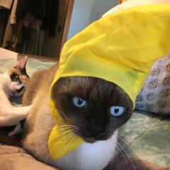 猫/被り物/ガチャガチャ ねこフルーツちゃんというガチャガチャの被…