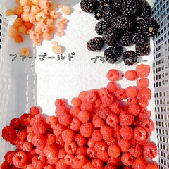 マルベリー/ブラックベリー/ファールゴールド/ラズベリー/ベリーコテージ こんばんは 今年の初収穫です💕  ファー…(1枚目)