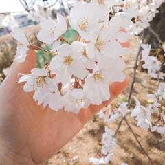 散歩/お出掛け/桜/おでかけワンショット お待たせ致しました😆 こちら東京都西部青…