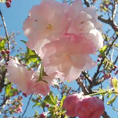八重桜/ブルーベリーの花 コンニチヽ( *°ㅁ°* )ノ  ワッ!…(6枚目)