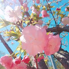 八重桜/ブルーベリーの花 コンニチヽ( *°ㅁ°* )ノ  ワッ!…(3枚目)