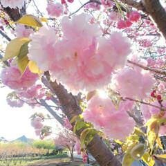 スーパームーン/ラビットアイ系 フェスティバルの花.../八重桜 おはよー 今日は久しぶりのお休み😆 1、…