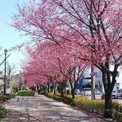 桜並木 久しぶりに自宅近くの緑地公園に来たら満開…