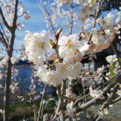 サクランボの花/ブルーベリー植え替え/ベリーコテージ こんばんは 昨日からブルーベリーの苗を畑…(3枚目)