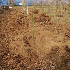 ブルーベリー植え替え/ベリーコテージ こんにちはー 今日も昨日に引き続きブルー…