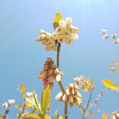 八重桜/ブルーベリーの花 コンニチヽ( *°ㅁ°* )ノ  ワッ!…(2枚目)