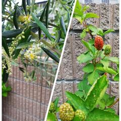 ブラックベリー/オリーブの花 オーナーの自宅でパチリ 左側はオリーブの…
