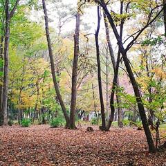 紅葉/公園 自宅前の公園の様子 だいぶ落ち葉も増えて…(3枚目)