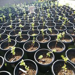 マルベリーの新芽/グーズベリー/ジューンベリーの花/ブラックベリーの花/ラズベリーの苗/ベリーコテージ こんばんはー 今日は風が強くて仕事してて…