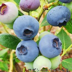 収穫/ブラックベリー/ジューンベリー/グーズベリー/マルベリー/ラズベリー/... こんにちは 午前中のベリーコテージでの風…