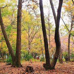 紅葉/公園 自宅前の公園の様子 だいぶ落ち葉も増えて…(2枚目)