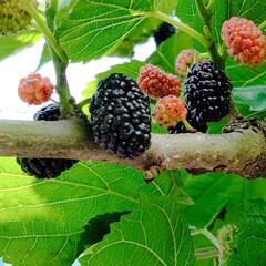 マルベリー/ブラックベリー/ファールゴールド/ラズベリー/ベリーコテージ こんばんは 今年の初収穫です💕  ファー…(2枚目)