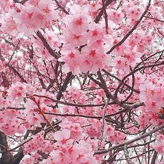 ベリーコテージ/ベビーキウイの新芽/桜/春の一枚 コンニチハー((((o´ω`o)ノ 今朝…