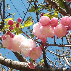 八重桜/ブルーベリーの花 コンニチヽ( *°ㅁ°* )ノ  ワッ!…(4枚目)