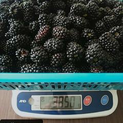果実/ベリーコテージ/ブラックベリー 今日の午前中に収穫した ブラックベリーで…