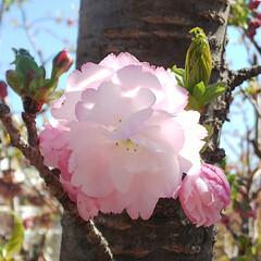 八重桜/ブルーベリーの花 コンニチヽ( *°ㅁ°* )ノ  ワッ!…(5枚目)