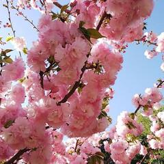 八重桜 自宅前の八重桜
