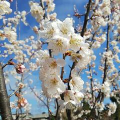 サクランボの花/ブルーベリー植え替え/ベリーコテージ こんばんは 昨日からブルーベリーの苗を畑…(2枚目)