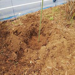 ブルーベリー植え替え/ベリーコテージ こんにちはー 今日も昨日に引き続きブルー…(2枚目)